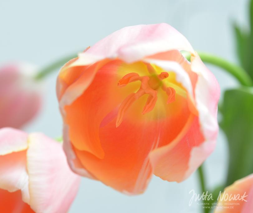 Jutta Nowak Blog: 12 von 12 März 2016 - französische Tulpe in Lachs-Orange-Pink